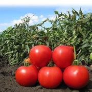 Продам семена томата Naisy / Нейси
